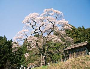 花の王国ふくしま二段田のひがん桜