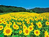 会津エリア三ノ倉高原ひまわり畑