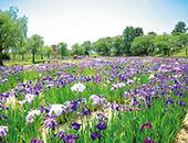 会津エリア御殿場公園の花しょうぶ園