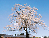 県北エリア合戦場のしだれ桜