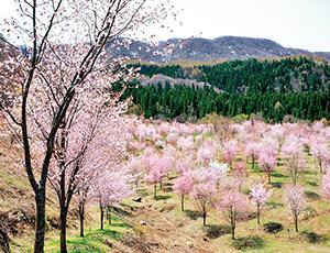 花の王国ふくしま2001本の桜が咲き誇る桜峠