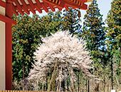 会津エリアさゆり公園の桜