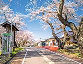 会津エリア米沢の千歳桜
