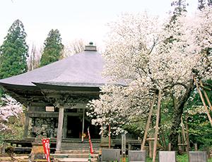花の王国ふくしま法用寺の虎の尾桜