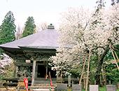 会津エリア法用寺の虎の尾桜