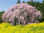 県北エリア万燈桜