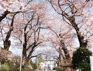 花の王国ふくしま桜平山公園