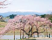 県北エリア中島の地蔵桜