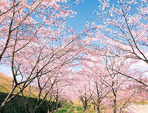 右近清水の桜