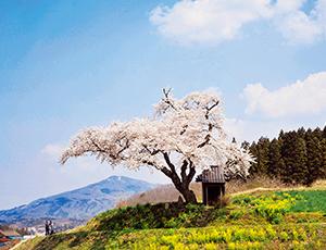 花の王国ふくしまあぶくま洞ラベンダー園
