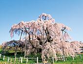 県中エリア三春滝桜