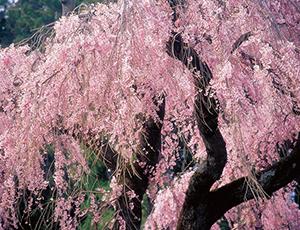 花の王国ふくしま楽翁桜