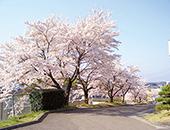県南エリアあゆり温泉の桜