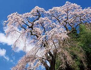 花の王国ふくしま火打石のしだれ桜